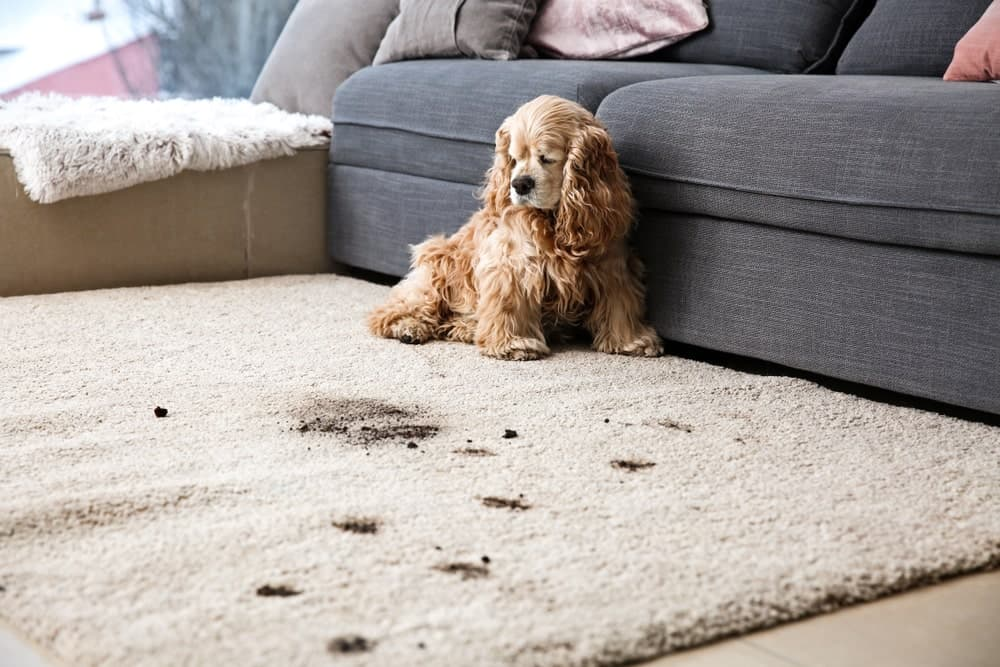 professional carpet cleaning dog mess